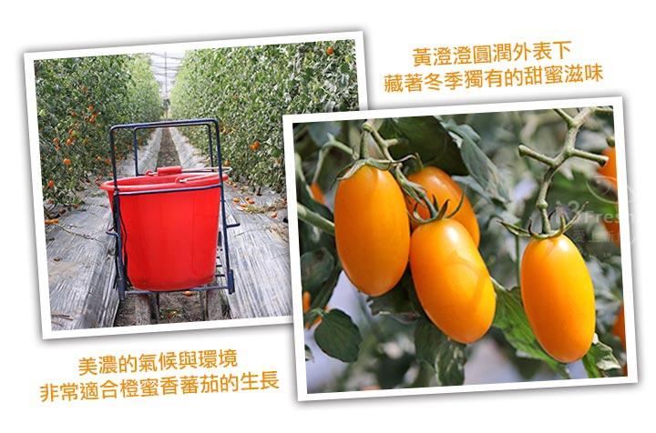 美濃鮮採橙蜜香小蕃茄