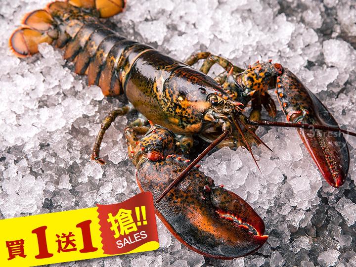 【當季生凍】波士頓大龍蝦